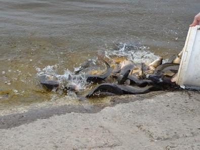 До Ковельського водосховища вселили більше тонни риби