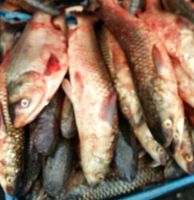 На ринках міста Луцьк виявлено незаконний продаж 72 кг водних біоресурсів, - рибпатруль Волині